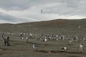 pinguini in patagonia foto