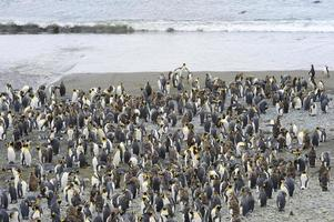 re pinguino (aptenodytes patagonicus)