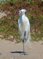 egret rossastro bianco morph foto