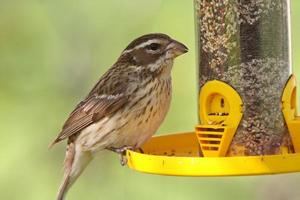 passero canoro alla mangiatoia per uccelli foto