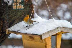 pettirosso europeo nel luogo di alimentazione in inverno foto