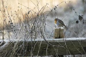 pettirosso invernale foto