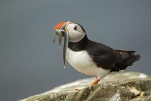 puffino con pesce, isole farne, northumberland, regno unito foto