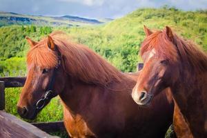 cavalli islandesi in Islanda su un prato vicino al lago myvatn foto
