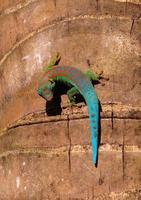 geco di giorno foto