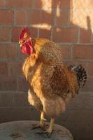 Gallo in pollaio foto