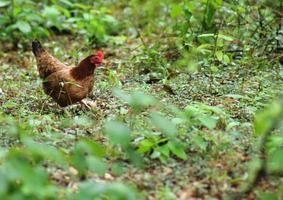 pollo ruspante foto