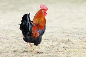 gallo all'aperto foto