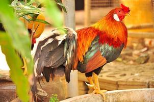 bellissimo gamecock, da vicino foto