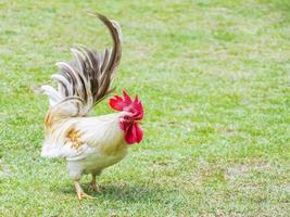 bellissimo gallo bantam in fattoria. foto