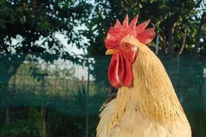 testa di gallo da vicino - vista laterale foto