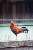 bellissimo gallo tailandese appollaiato sul recinto foto