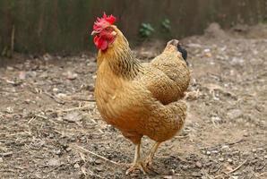 gallina rossa in fattoria. pollame fatto in casa. aspetto rustico