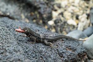 lucertola di lava delle galapagos (microlophus albemarlensis)