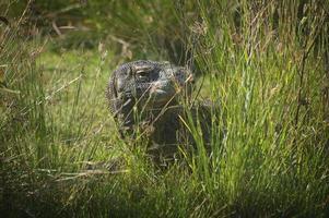 drago di Komodo foto