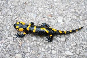 primo piano della salamandra pezzata foto