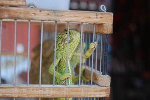 camaleonte in gabbia