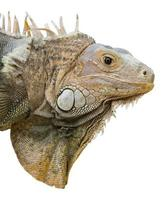 Iguana isolata su bianco