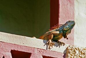 iguana sulla costruzione foto
