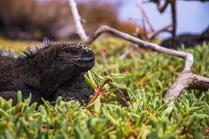 stretta di un'iguana marina con sfondo sfocato foto