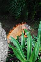Iguana su un ceppo di albero