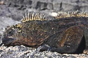 maschio di iguana marina