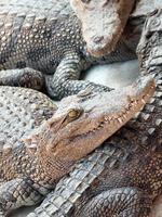 i coccodrilli si chiudono in su in Tailandia