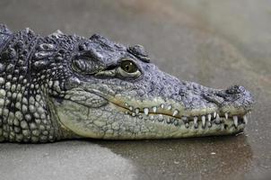 Ritratto di coccodrillo del Nilo foto