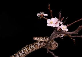 serpente di boa di vipera moresco in pitone reale pitone foto