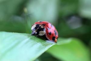 coccinella sull'erba