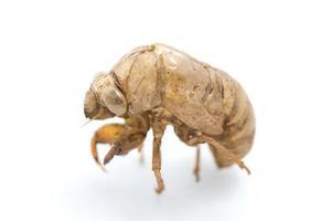 guscio di cicala