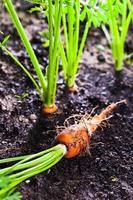 carota sul letto foto