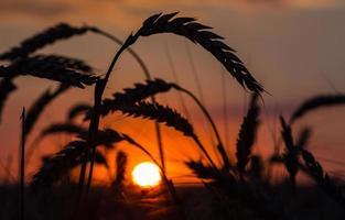 sagoma di erba contro il tramonto foto