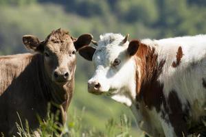due giovani vitelli foto