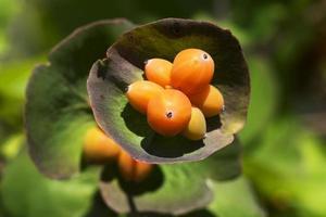 frutti di bosco dopo fioritura fiore perfoliate. foto