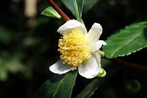 camelia sinensis flower - fiore del tè foto