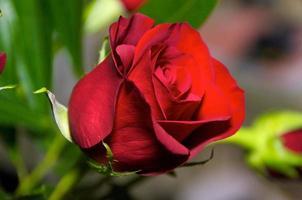 rosa rossa da vicino foto