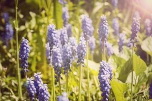 sfondo di fiori con fiori viola campanula