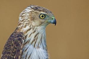 vista laterale laterale di un falco coopers foto