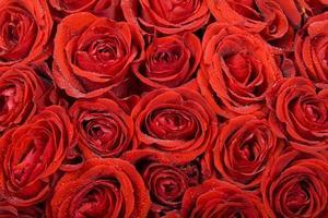 sfondo di rose