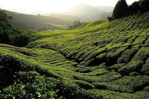 campi di piantagione di tè all'alba