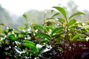 foglie di piantagione di tè foto