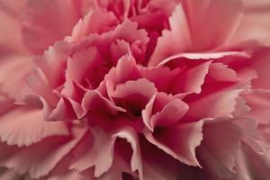 macro di petali di garofano