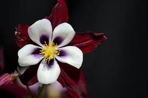 bel petalo bianco stame giallo sfumature viola aquilegia fiore di colombina foto