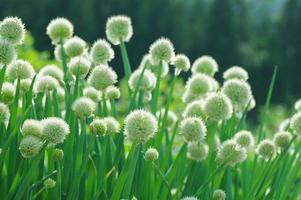 fiore di porro foto