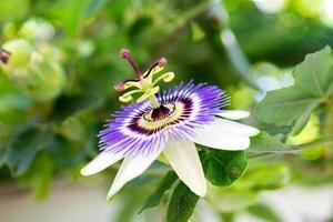fiore della passione foto