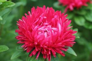 fiore di peonia foto