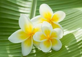 fiore di plumeria foto