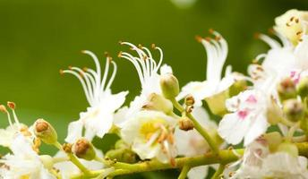 fiore di castagno