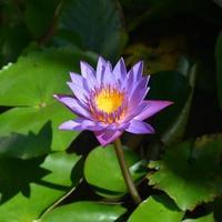 fiore di loto foto